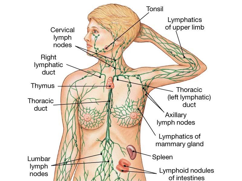 Arianna Artusa Lymphatic System