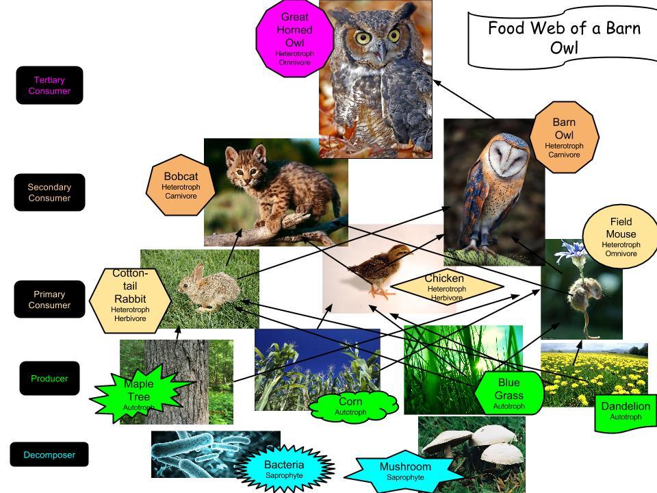 Barn owl food web best image dinaris org for Food bar owl