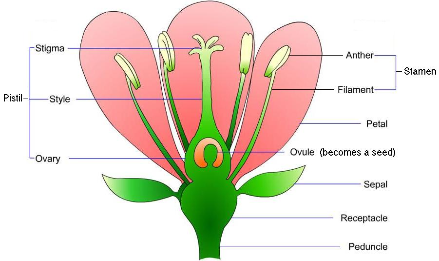 Juniors plant diagram thinglink ccuart Image collections