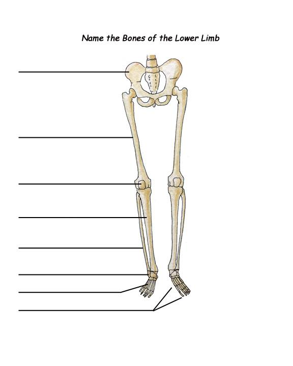Lower Limb Bones Diagram Blank - DIY Enthusiasts Wiring Diagrams •