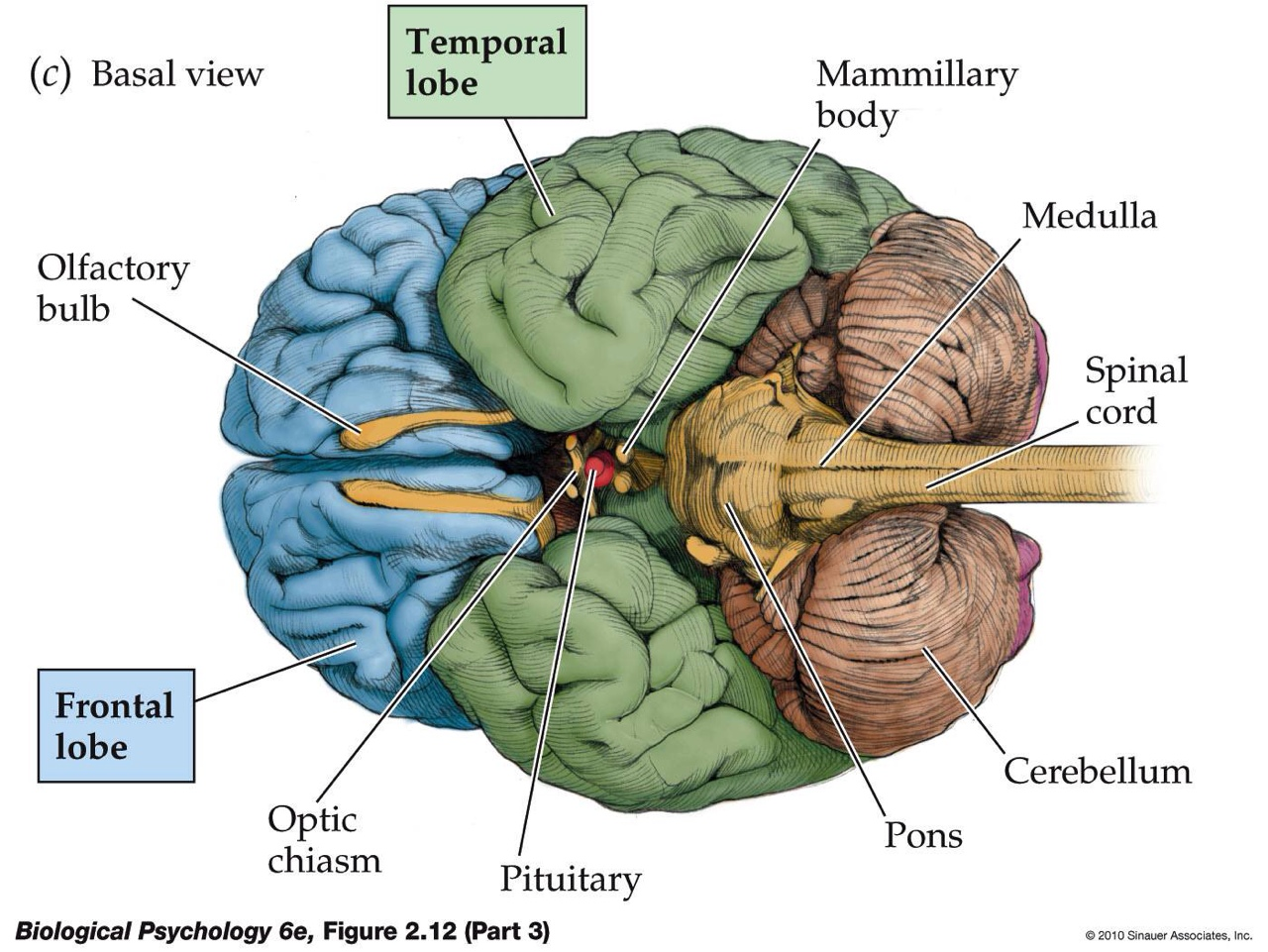 Brain Labeled Diagram Of The Bottom - All Kind Of Wiring Diagrams •