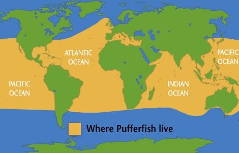 Pufferfish thinglink for Puffer fish habitat