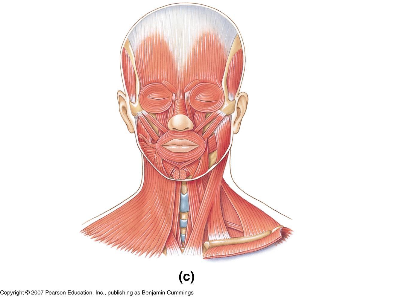 frontal , orbicularis ocili , orbicularis oris , temporal