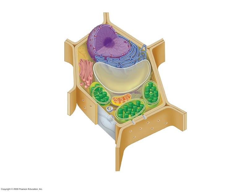 Biology Pictures: Plant Cell Diagram | PLANTS | Pinterest | Plant ...