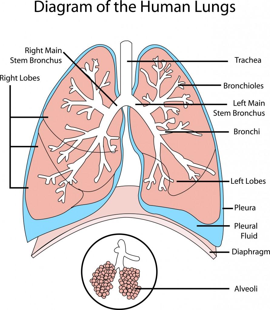 Respiratory Anatomy - ThingLink
