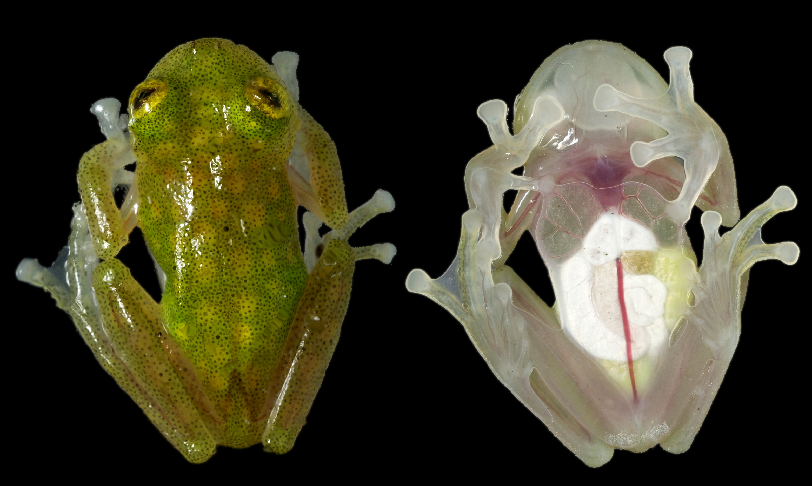 The Glass Frog - ThingLink