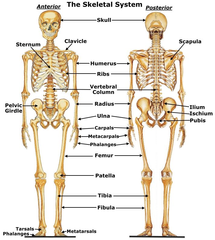skeletal system - thinglink, Human Body