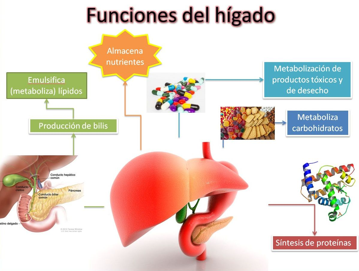 Famoso Diagramas De Hígado Imagen - Anatomía de Las Imágenesdel ...