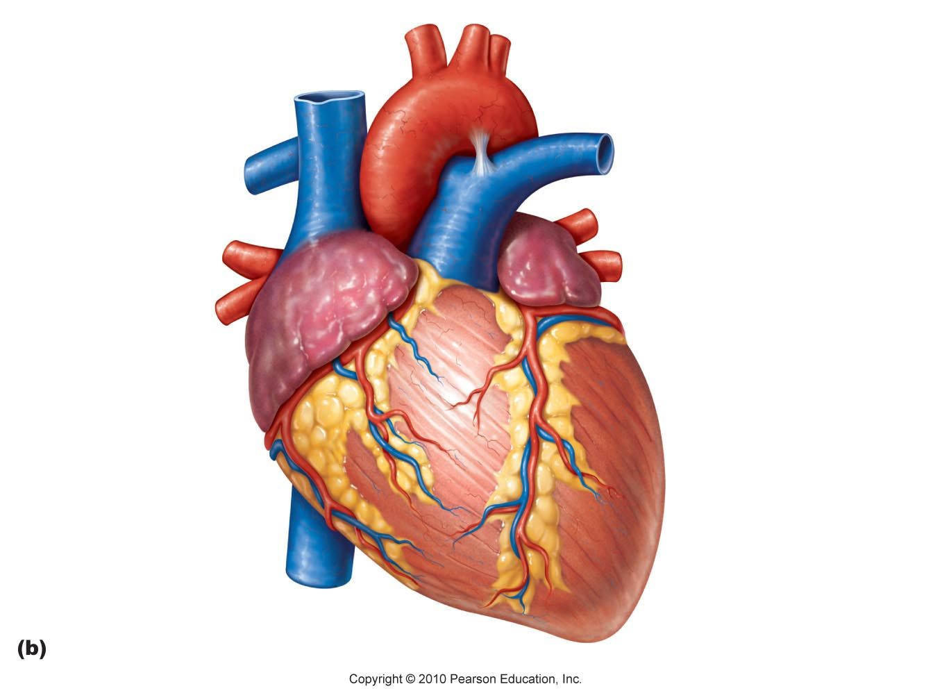 human heart - thinglink, Human Body