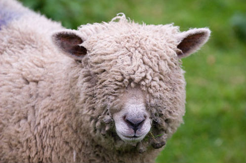 Image result for pull the wool over eyes