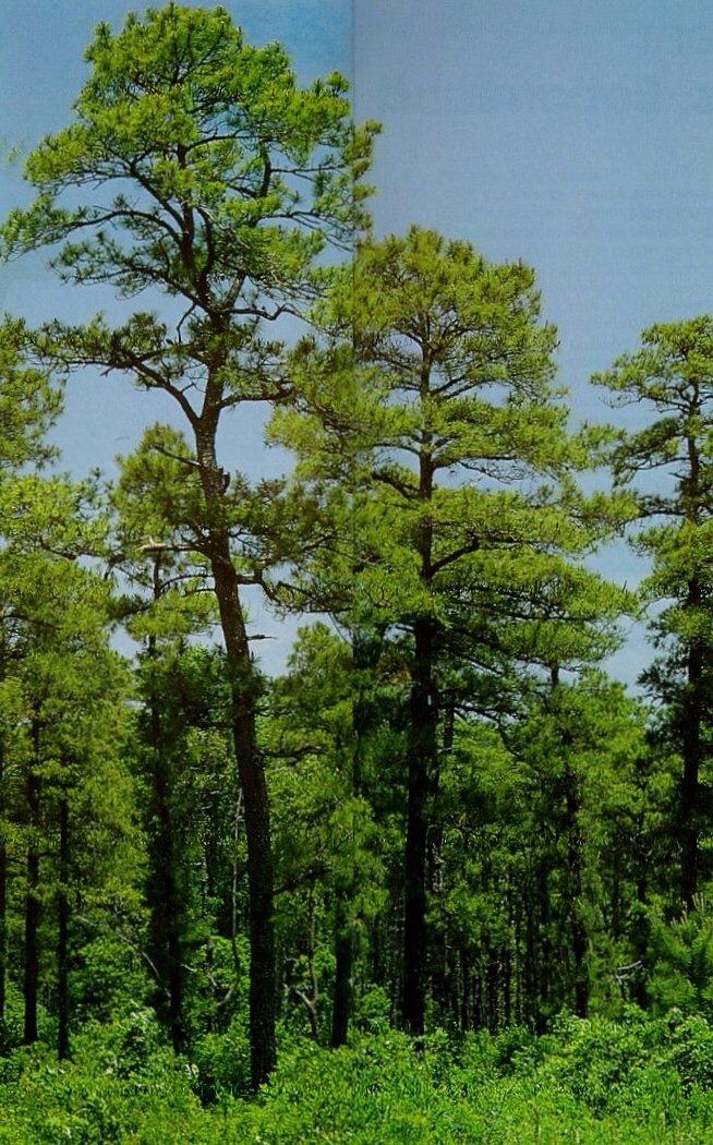 the alabama state tree
