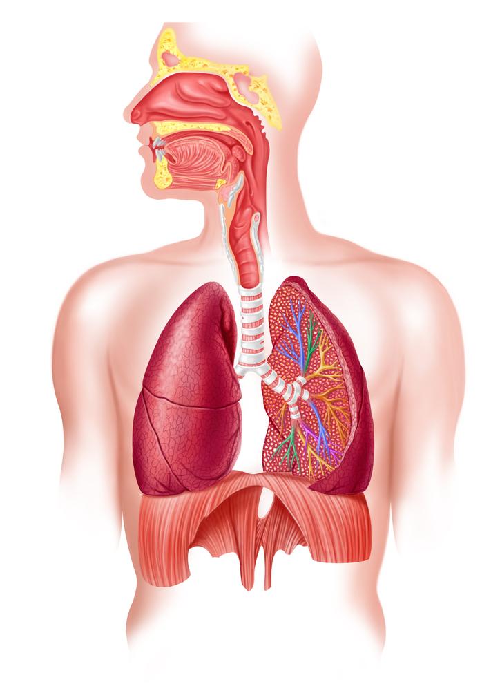 Aparato respiratorio sin nombres - Imagui