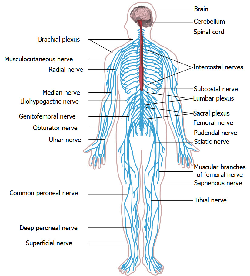 Nervous System By Jameson Sellers 11217 5th Period Thinglink