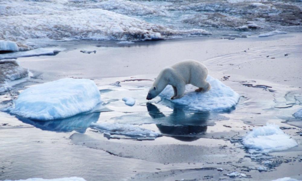 argumentative essay on polar bears
