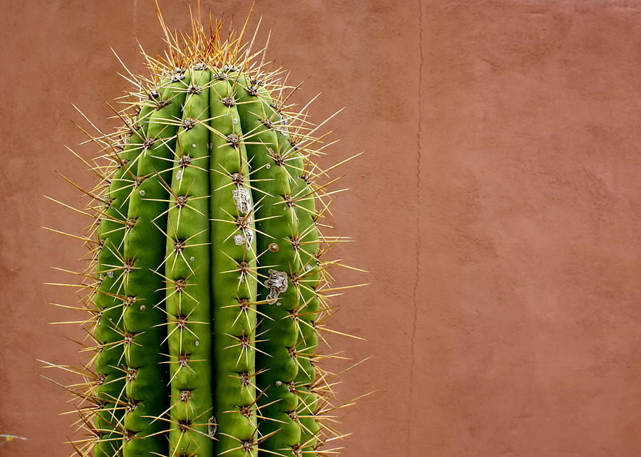 cactus kingdom plantae phylum tracheophyta division