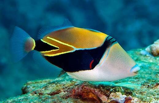 marine species reef triggerfish project