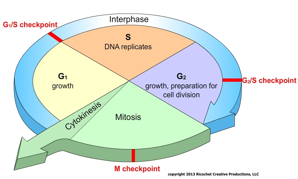 discuss in detail the cell cycle 2015-10-15 when a cell's dna is damaged, a sensor protein activates p53, which halts the cell cycle at the g 1 _1 1 start subscript, 1, end subscript checkpoint by triggering production of a cell-cycle inhibitor this pause buys time for dna repair, which also depends on p53, whose second job is to activate dna repair enzymes.