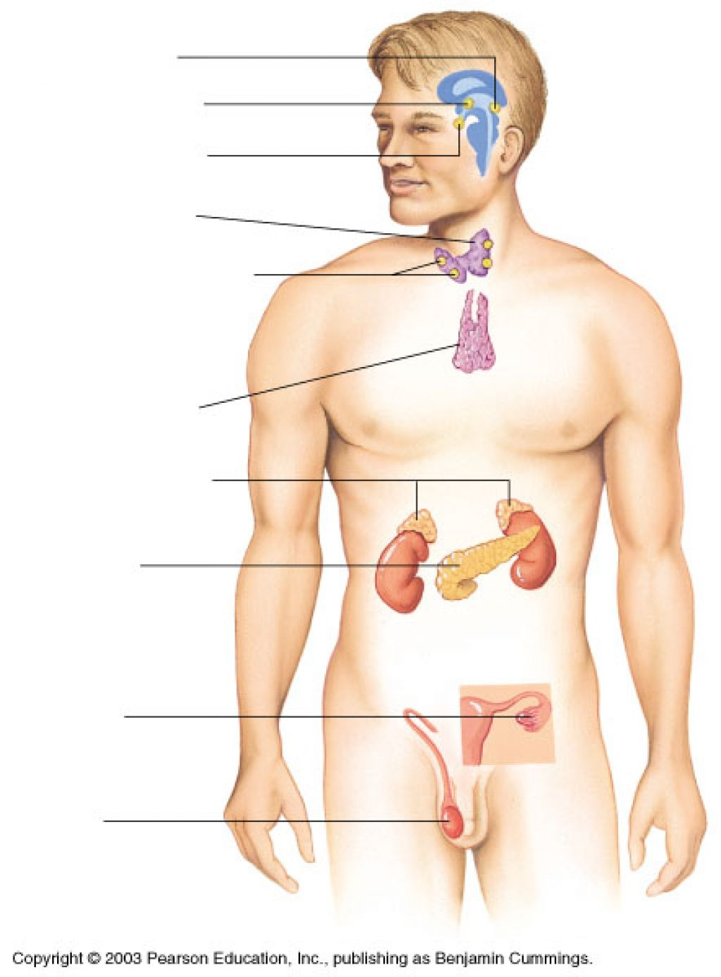 blank thyroid diagram - wiring diagrams
