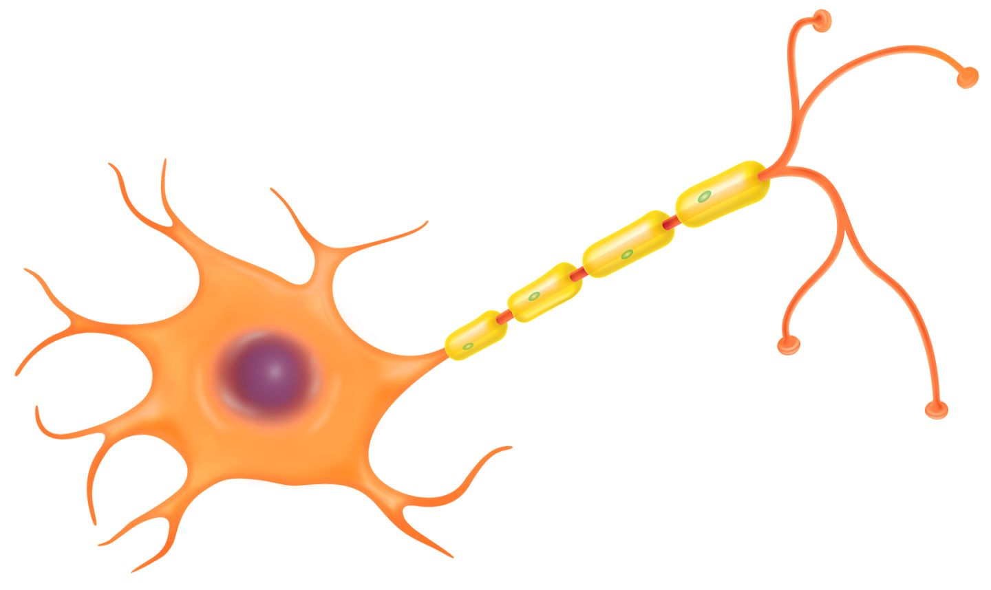 the nerve cell is a part of the nervous system, the nerve