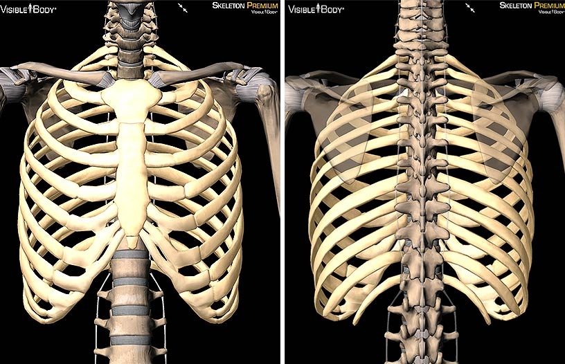 Male Vs Female Skeleton Rib Cage Female Skeleton Diagram Wiring