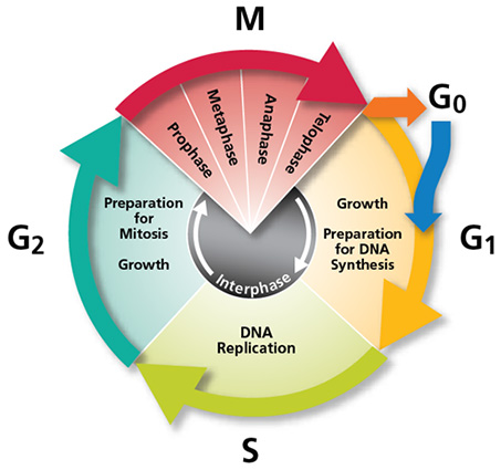 an analysis of the stages of metabolism and mitosis in the life process of a cell
