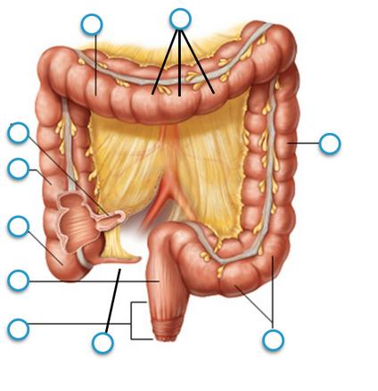 Haustra, Transverse colon, Ileum, Ascending colon, Cecum,...