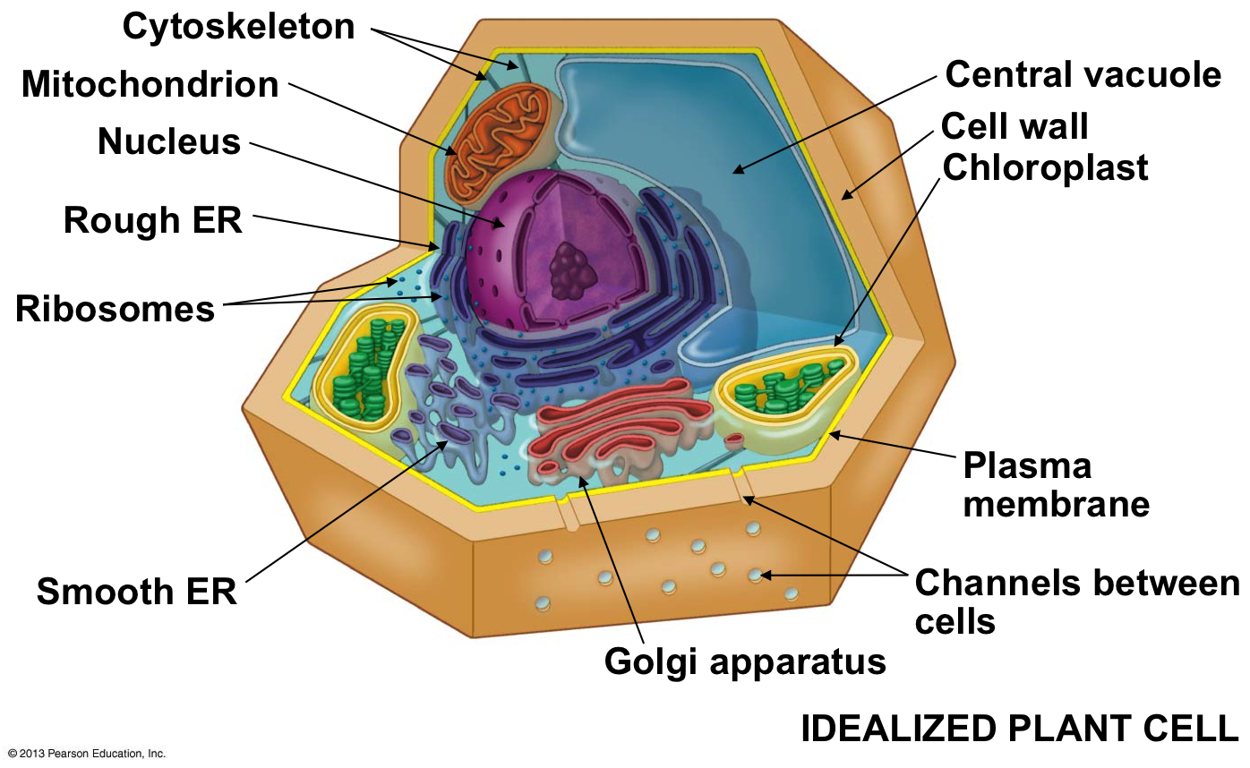Plant cell nucleus picture