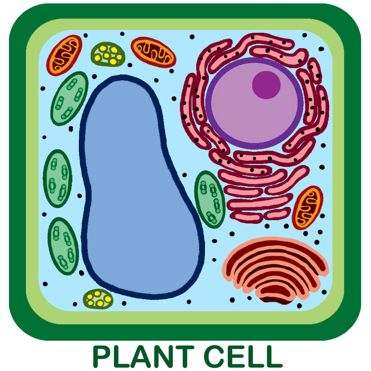 Central Vacule Golgi Nucleus Chloroplast Lysosome Ro Plant Cell Diagram Showing A