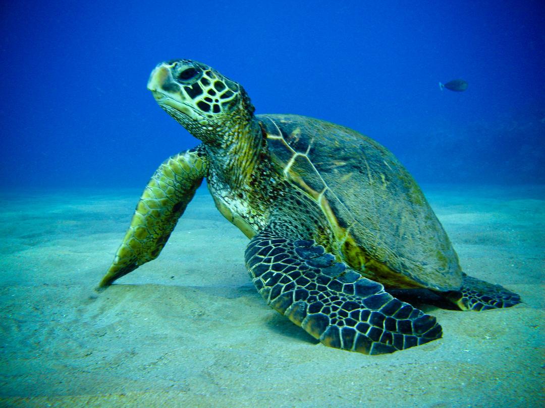 sea turtle by jasmine thinglink
