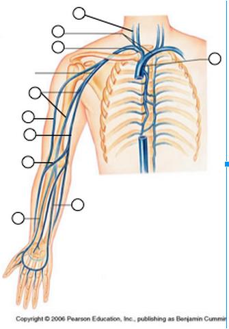 Brachiocephalic veins, Brachial vein, Cephalic vein, Basi... - ThingLink