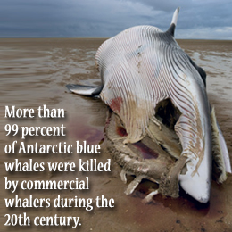 Blue Whales - ThingLink