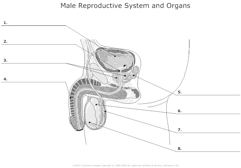 Reproductive System Worksheet 5 Answers   Healthy HesongBai
