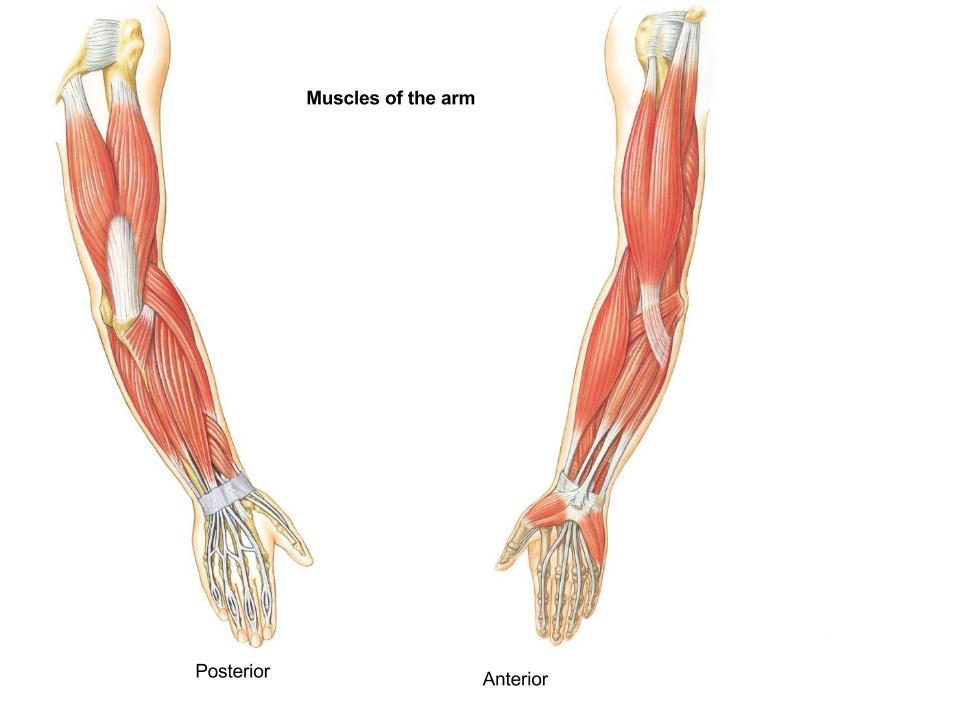 Biceps Brachii Origin Proximal A Brachioradialis Origin
