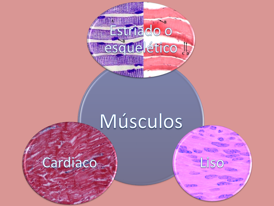 Es el tejido muscular del corazón, músculo encargado de ...