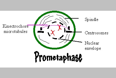 animal cell prometaphase