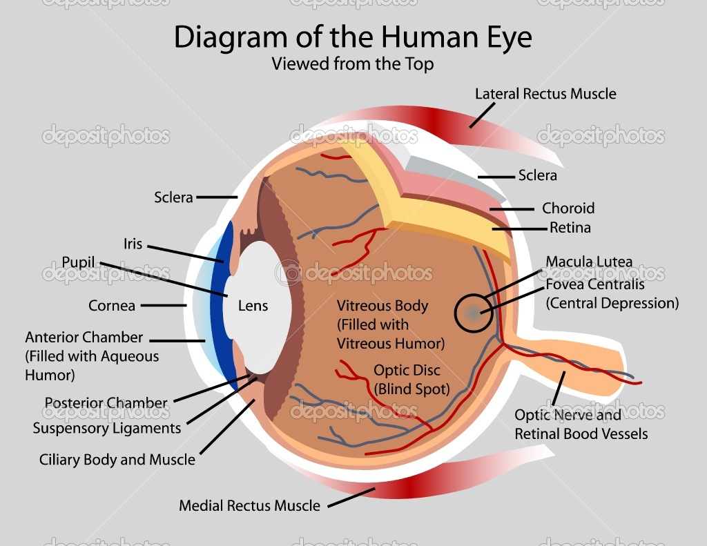 Human Eye Well Labelled Diagram - Auto Electrical Wiring Diagram •