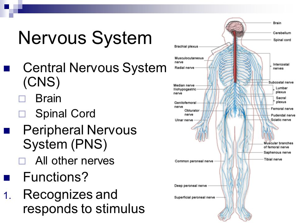 nervous system functions – citybeauty, Muscles