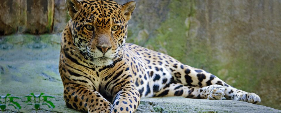 Jaguars by Shreya Shiju - ThingLink