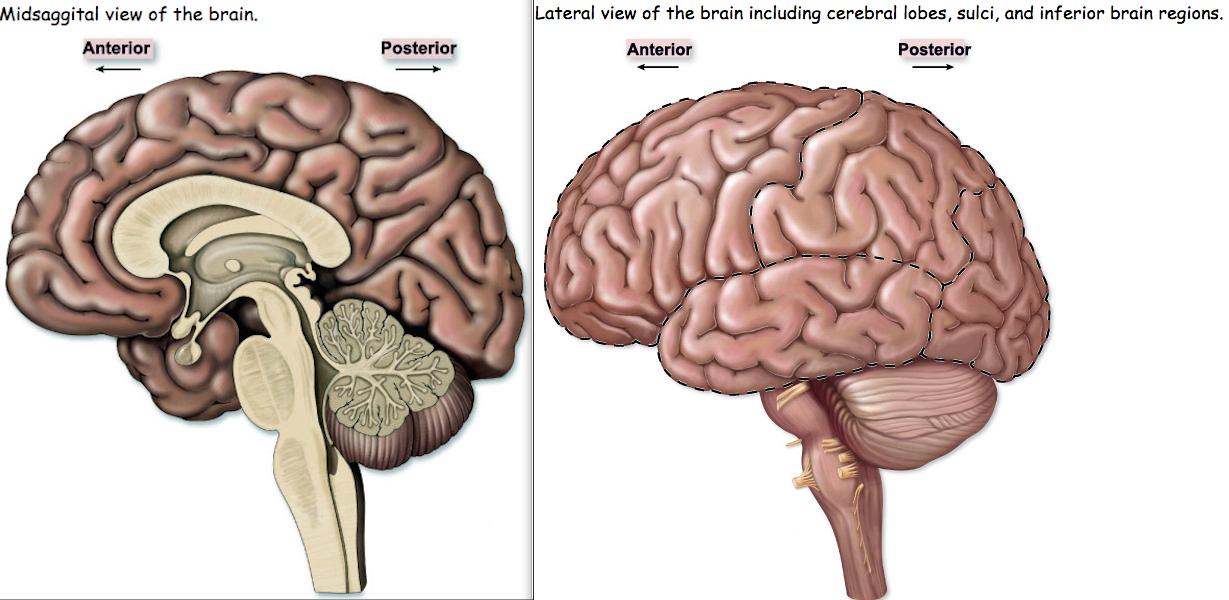 Frontal lobe:, Parietal Lobe:, Occipital Lobe:, Cerebellu... - ThingLink