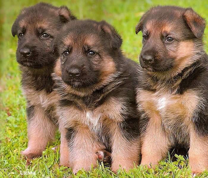 German Shepherd Baby Goldenacresdogs Com