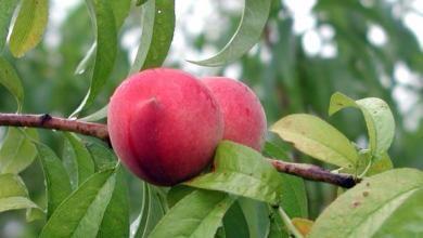 alabama state tree fruit