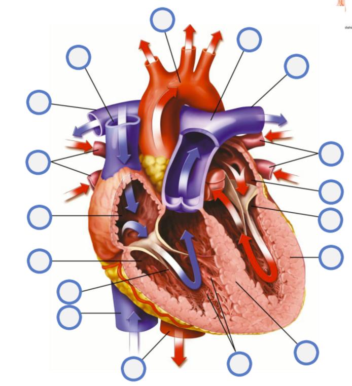 Superior Vena Cava Aorta Right Pulmonary Artery Left P