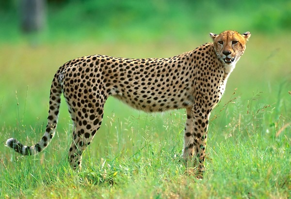 Cheetah adaptations to help it survive ThingLink