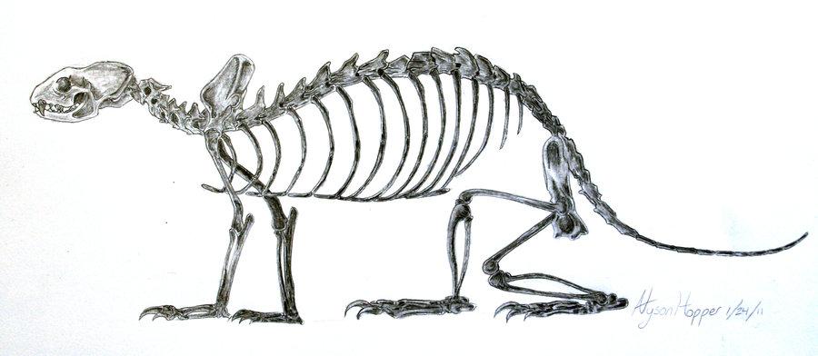 ferret skeletal anatomy - ThingLink