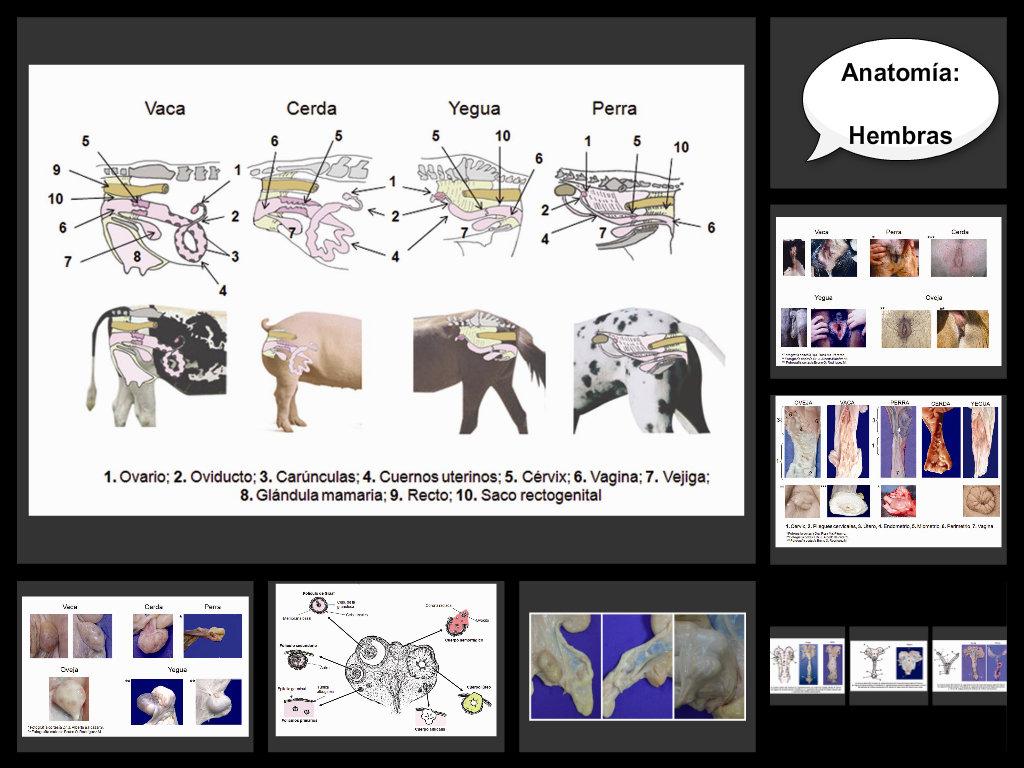 Anatomía reproductiva de las hembras domésticas - ThingLink
