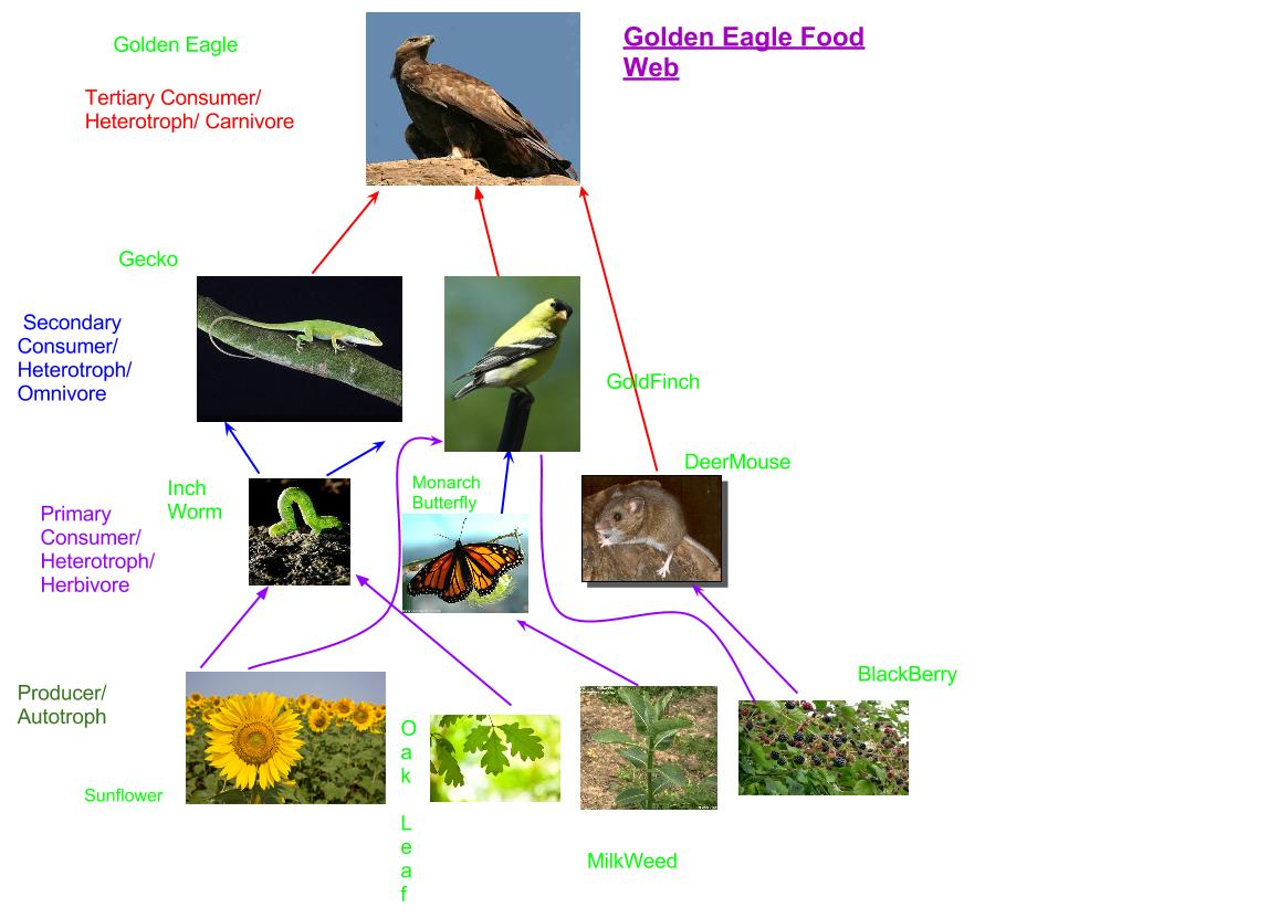 What Eats A Golden Eagle In A Food Chain