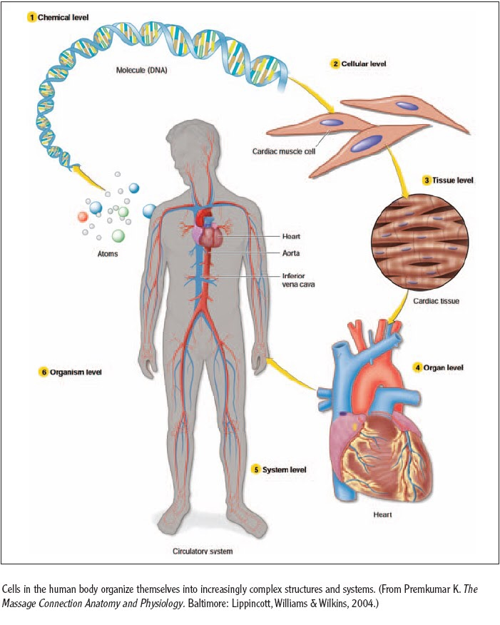 Organizational hierarchy-DNA to cardiovascular system