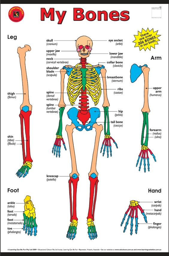 Colorful Human Body Bones Diagram Wiring Diagram For Light Switch