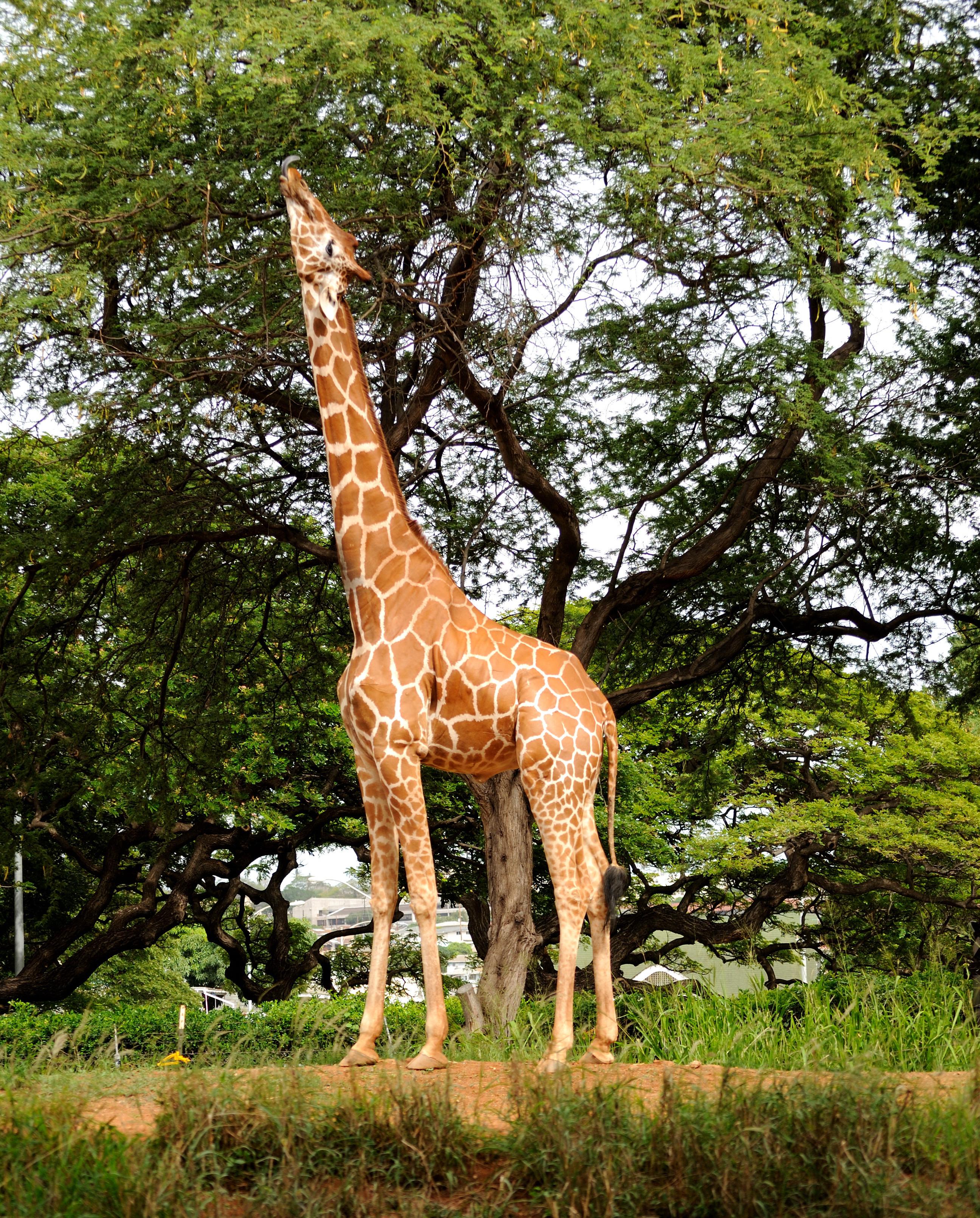 традиции жираф на дереве картинки для сосешь