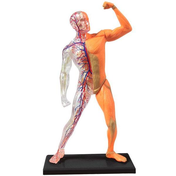 El cuerpo humano 2 - ThingLink